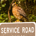 Red Shouldered Hawk!