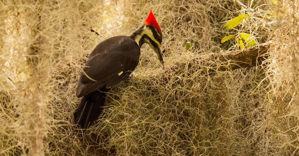 Pileated Woodpecker Searching the Moss! by rickster549