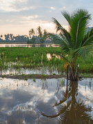 15th Oct 2019 - Rice Paddy Morning