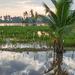 Rice Paddy Morning by ianjb21