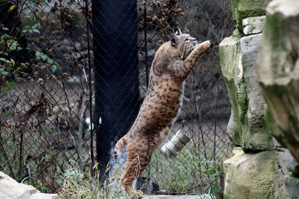 Jumpin Bobcat by randy23
