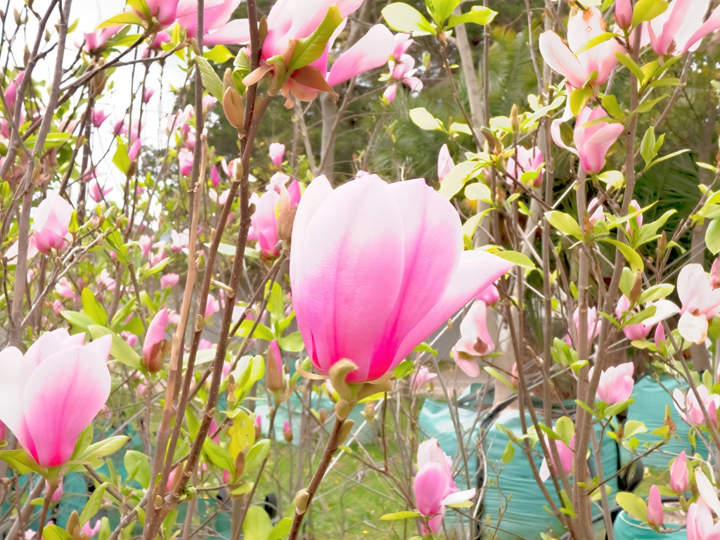 Magnolias waiting to be sold. by ludwigsdiana