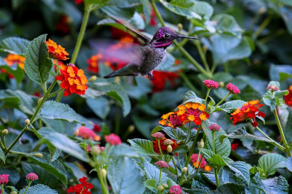 Hummingbird by danette