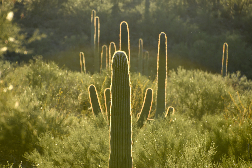 Saguaro National Monument by danette