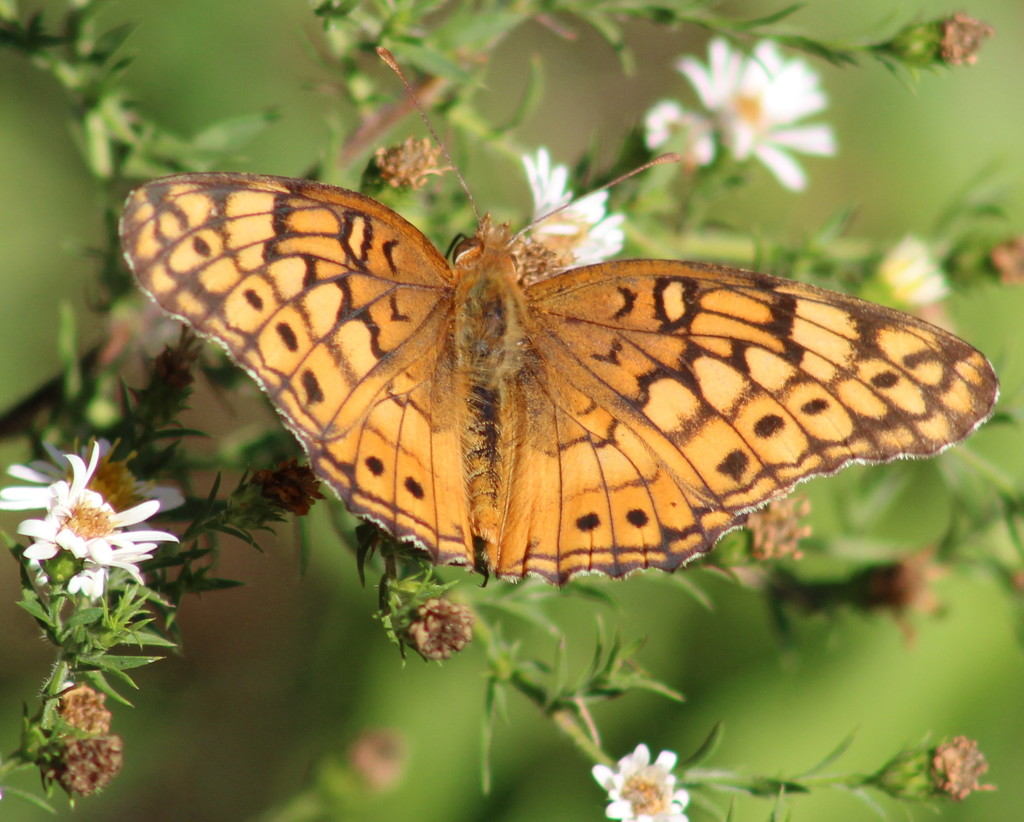 Variegated Fritillary by cjwhite