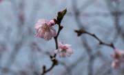 17th Oct 2019 - cherry blossom tartan