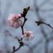 cherry blossom tartan