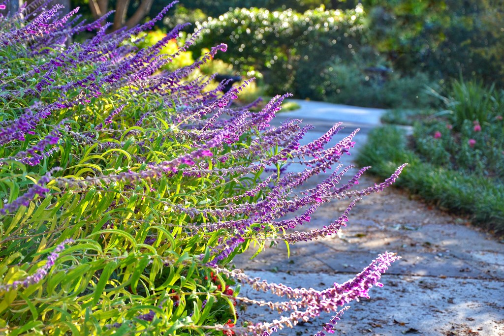 """The name placard read """"Russian Sage"""" by louannwarren"""