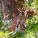 Wallaby and joey by suesmith