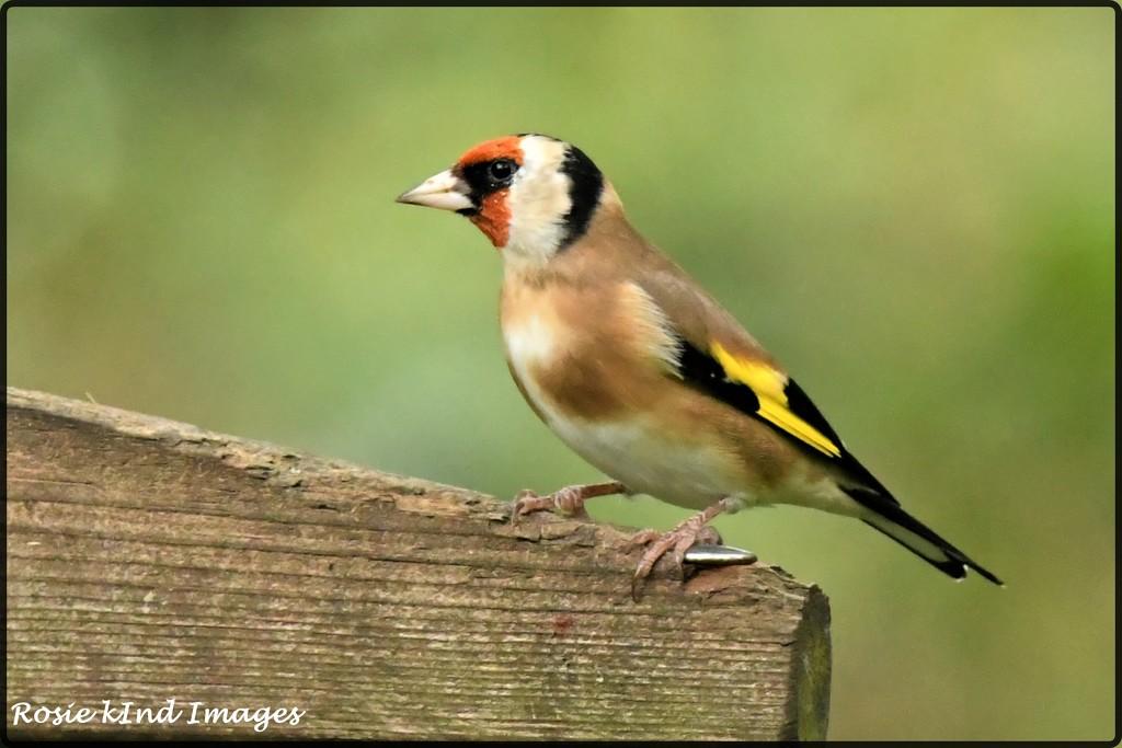 RK3_2865  Lovely Goldfinch by rosiekind