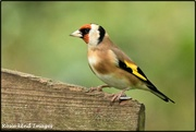 16th Oct 2019 - RK3_2865  Lovely Goldfinch
