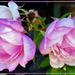 Roses In Full Bloom ~