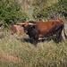 LHG_7829 Badass Bull