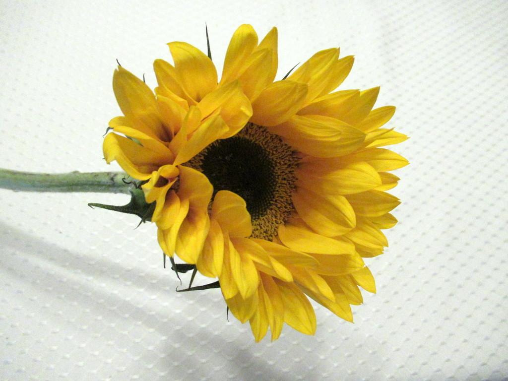 Sunflower by bruni