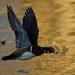 wood duck drake in flight at sunset
