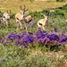 Seven of the eight Springbuck males
