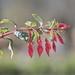 Fuchsia Fingers