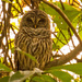 Sleepy Barred Owl!