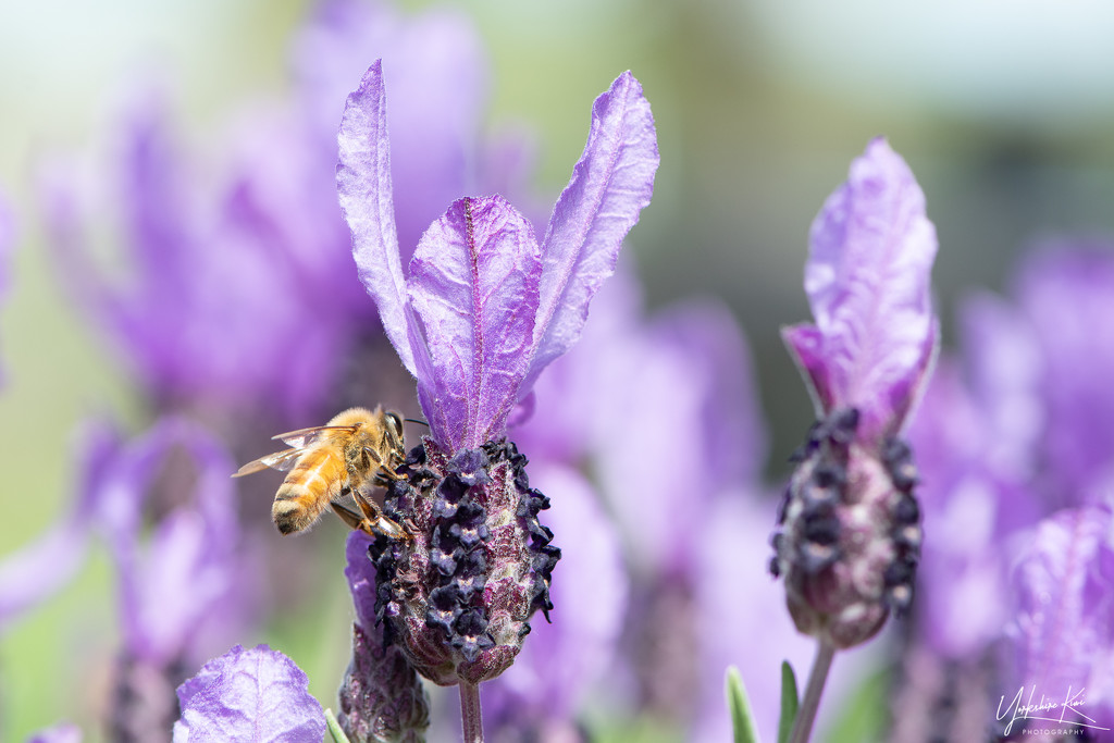 Another lavender loving bee by yorkshirekiwi