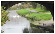 18th Oct 2019 - Swans and feathered friends High Street bridge. Rishton.