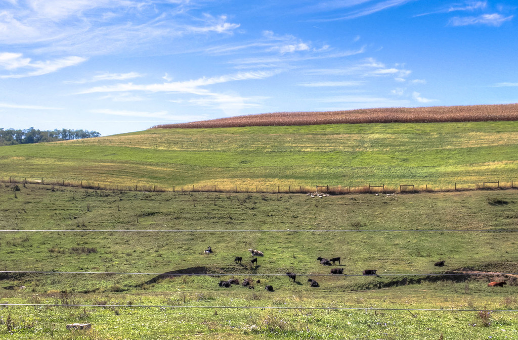 A field with cows by mittens