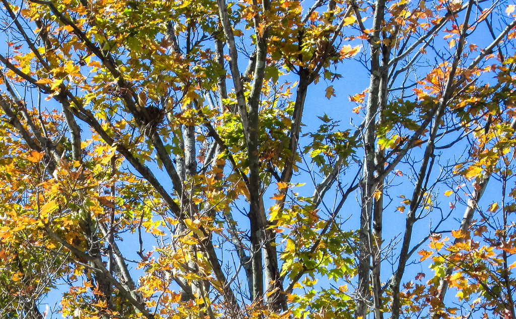 Tree in autumn with bird nest by mittens