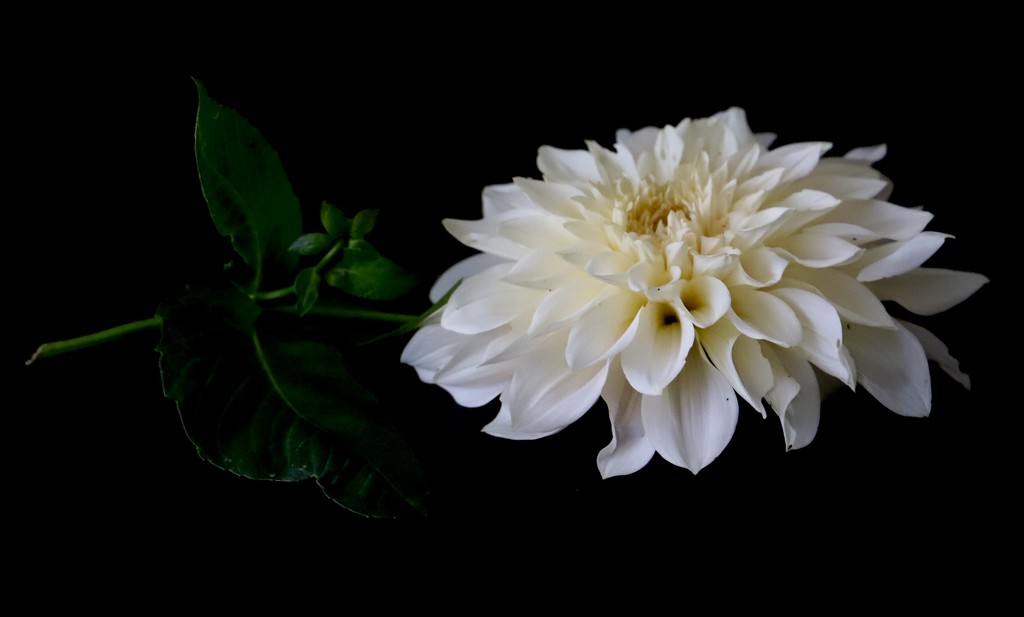 Indoor Dahlia by carole_sandford