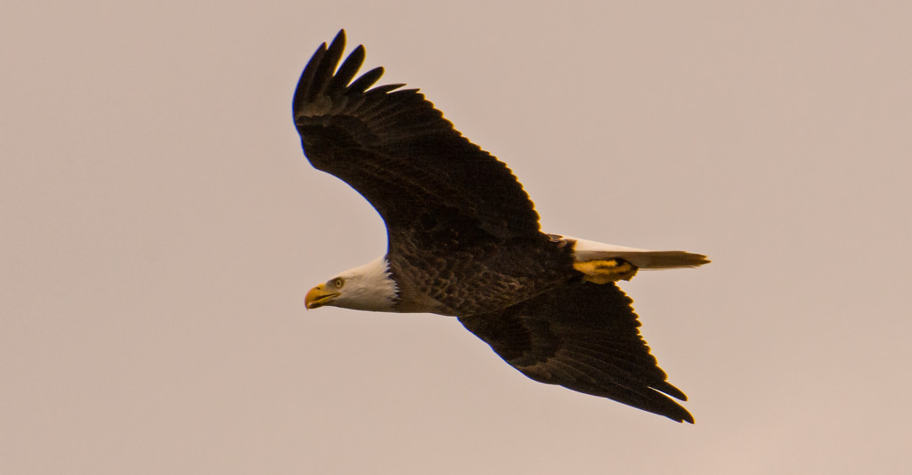Bald Eagle Fly-by! by rickster549