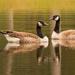 Geese at the Lake!