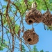 Weaver nests have dried out