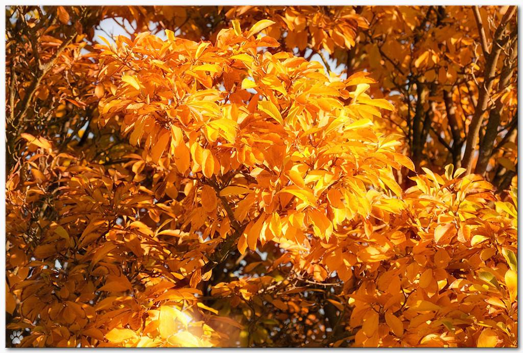 golden leaves by lastrami_