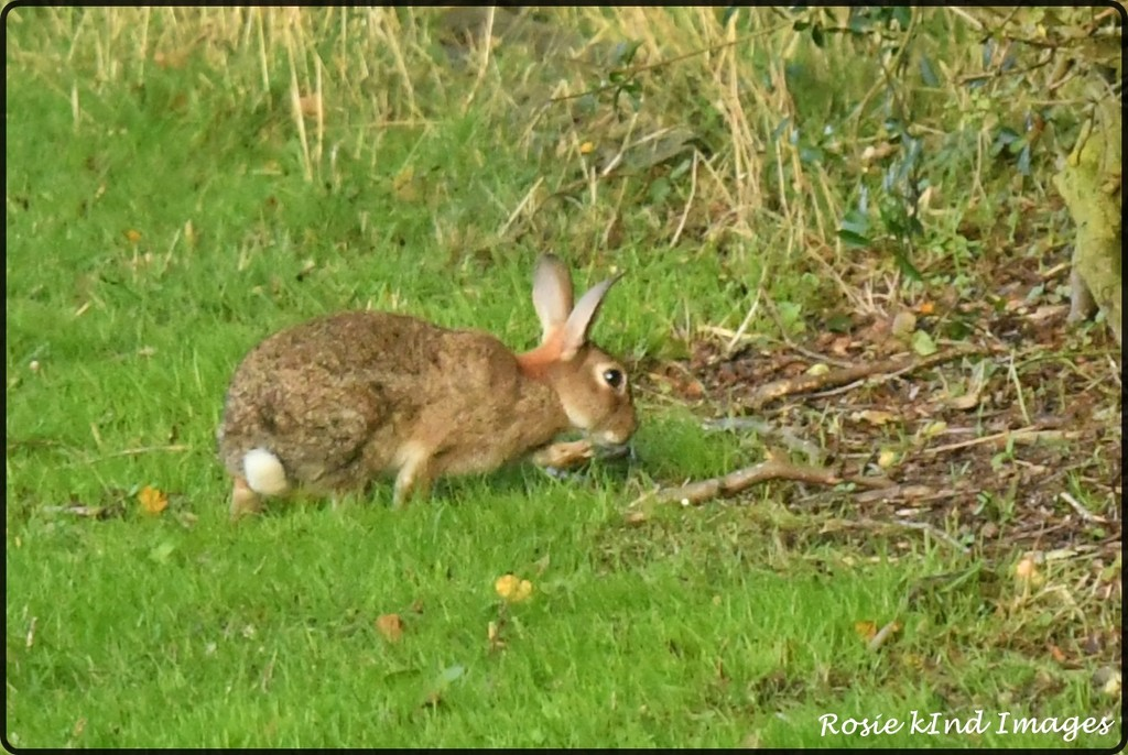 RK3_2840  Little bunny by rosiekind