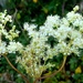 Autumn Meadowsweet