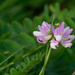 crown purplevetch