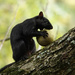 Black Squirrel eating a walnut