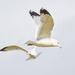 Gull Ballet by gardencat