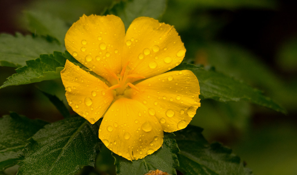 Yellow Flower After the Rain! by rickster549