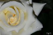 20th Oct 2019 - Rose
