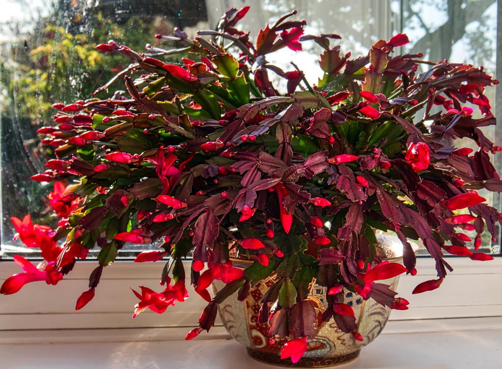 Christmas Cacti by tonygig