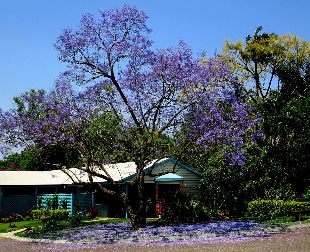 My Jackaranda tree is in full bloom by 777margo