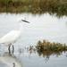 Egret in the Saltgrass
