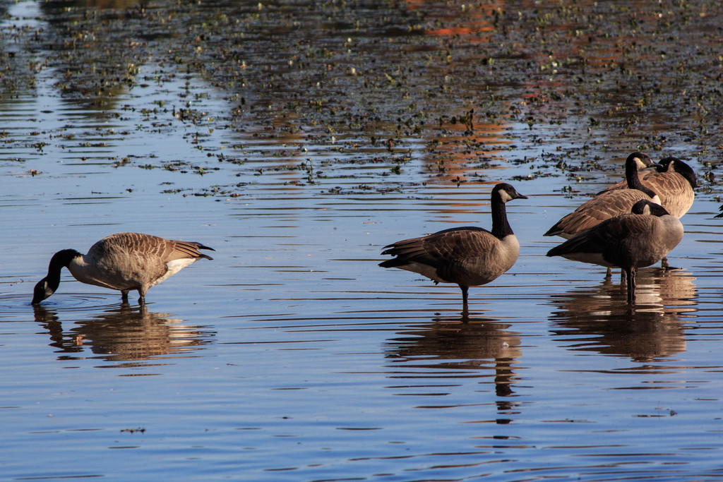 Geese at the Reservoir by batfish