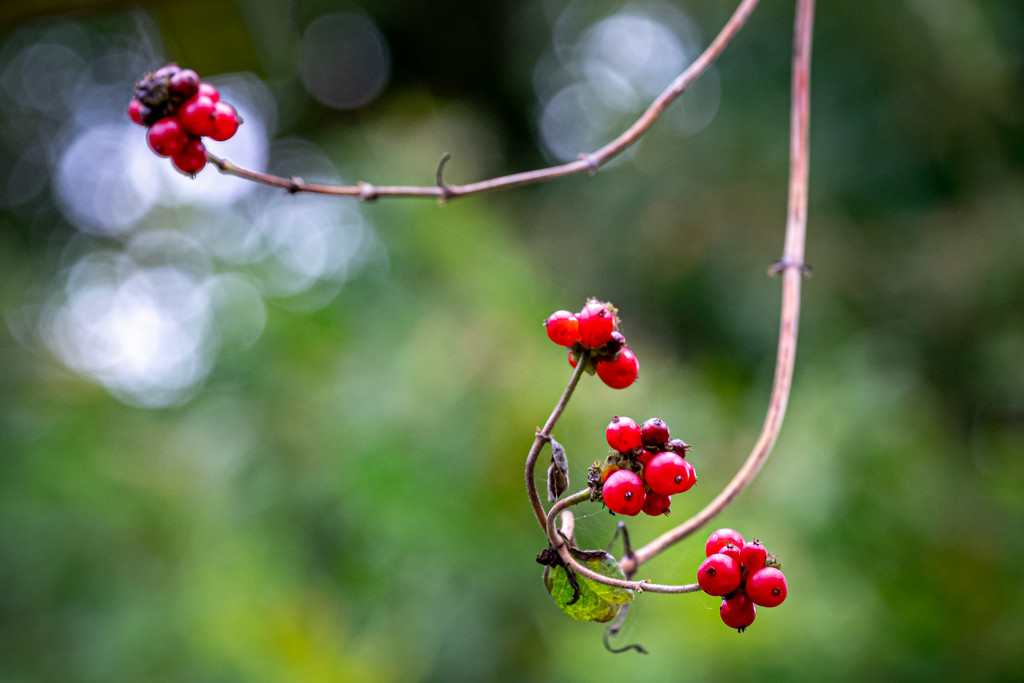 Berries and Bokeh by vignouse