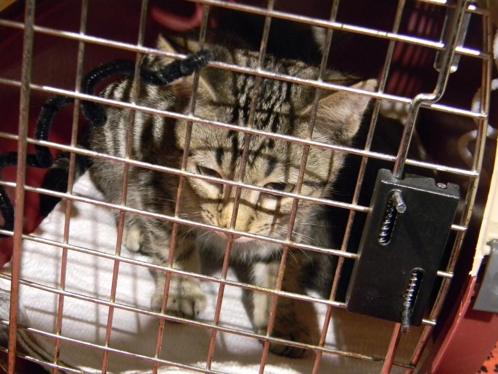 Gray Kitten in Cage by sfeldphotos
