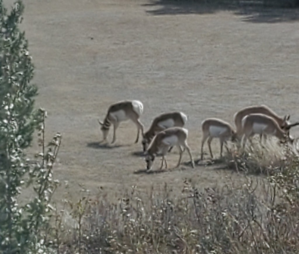Backyard visitors - North American Pronghorn Antelope  by wyomingsis