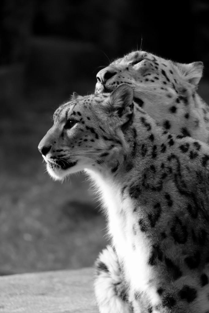Mr. & Mrs. Snow Leopard by randy23