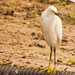 Snowy Egret Taking a Break!