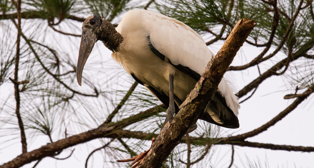 Woodstork, Getting Ready to Roost! by rickster549