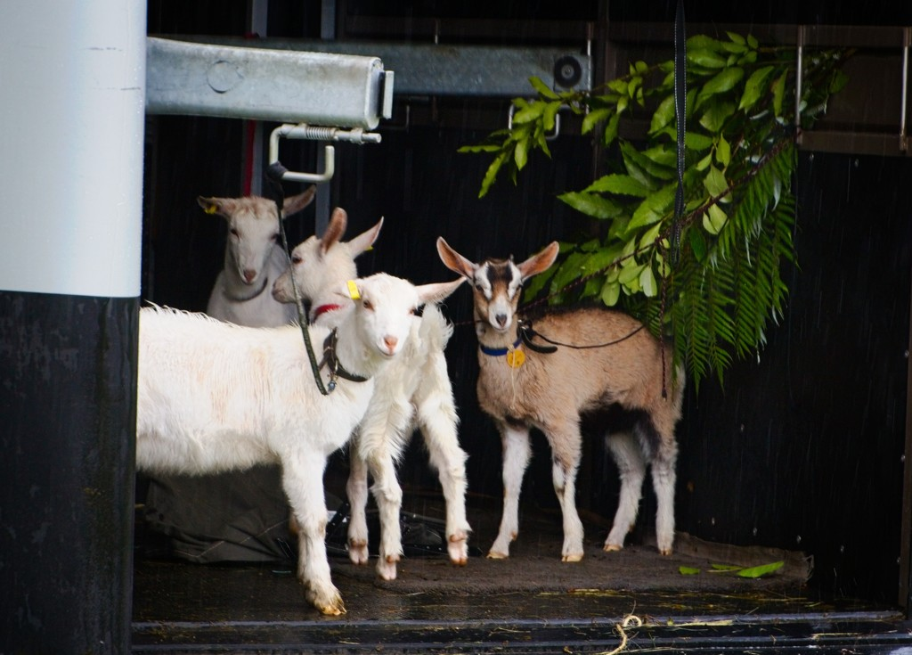 Goats at school by kiwinanna