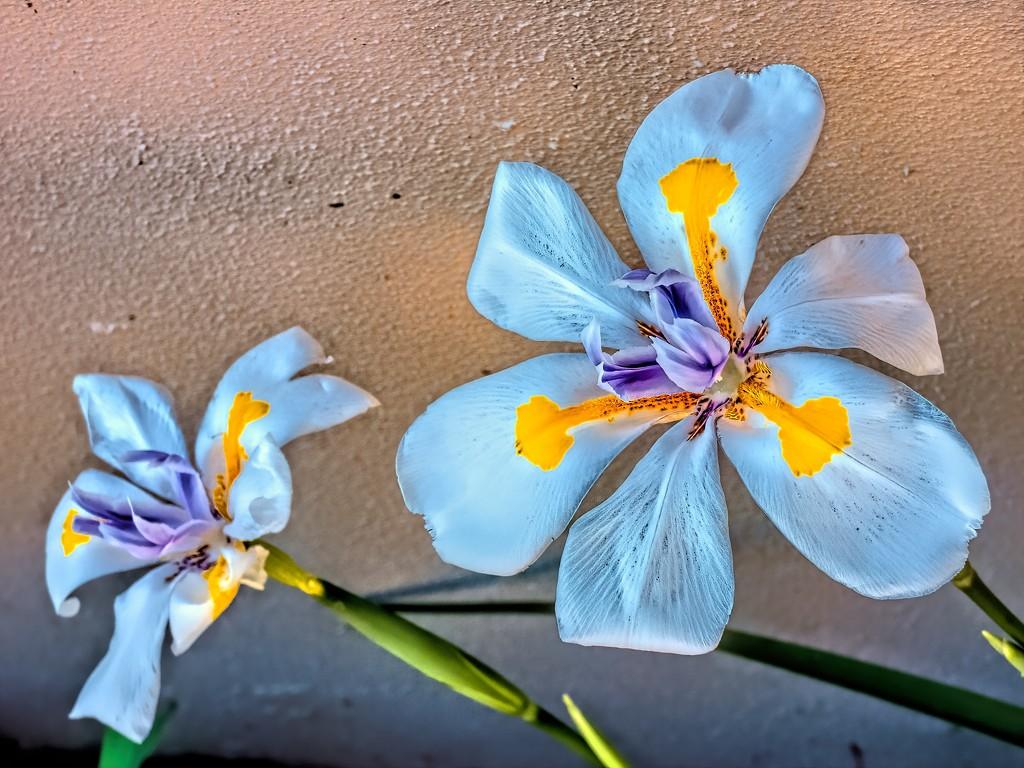 Indigenous Iris by ludwigsdiana